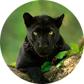 BlacK-_-PanTherR_NL